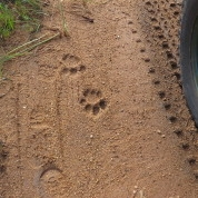 Bateleur Camps Animal tracking