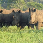 Bateleur Camps Rhinos in landscape