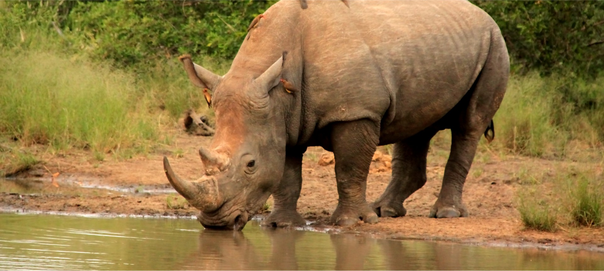 Safaria – Rhino in Kruger National Park