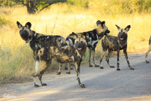 Wild dogs on the Kruger National Park road
