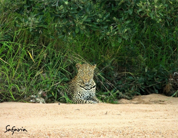 Safaria Leopard in Kruger National Park