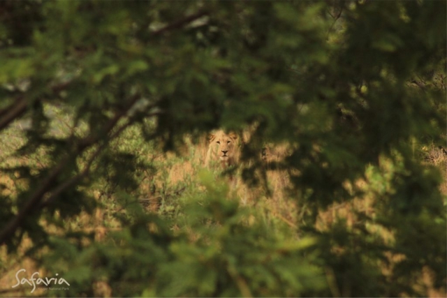 Lion peering through bush in Kruger National Park, Safaria