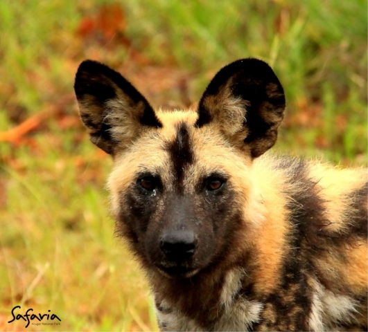 Wild dogs in Kruger Park with experienced Safaria Guides