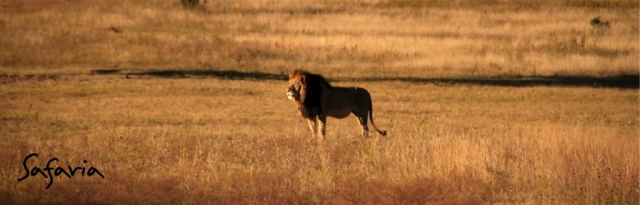 Male Lion gazing in Kruger National Park Landscape with Safaria