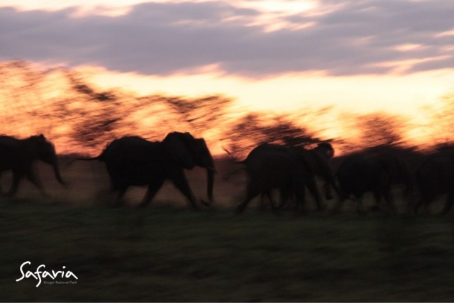 Herd of Elephants running in the Kruger Park