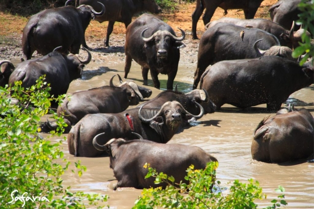 Buffalo herd in water hole in the Kruger National Park