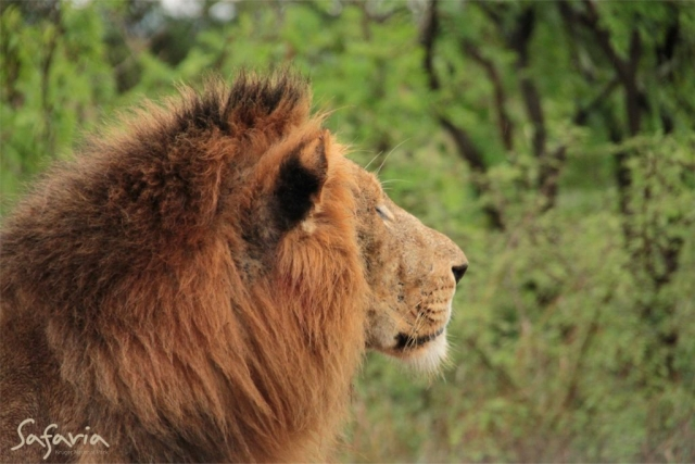 Lion gazing portrait taking  on a Kruger Park Safari