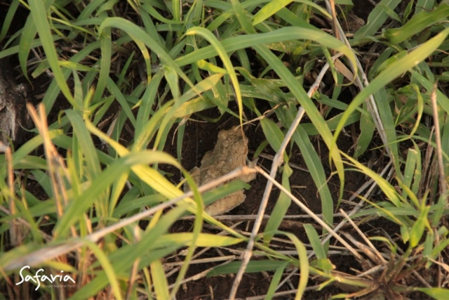 Picture of a Frog in the grass taking by Safaria