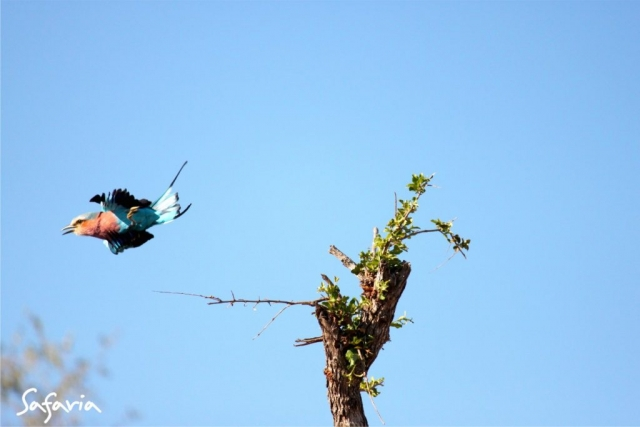 Roller flying in the Kruger National Park taking by Safaria