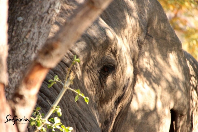 Up close Portrait of Elephant taking by a Private Safaria Guide