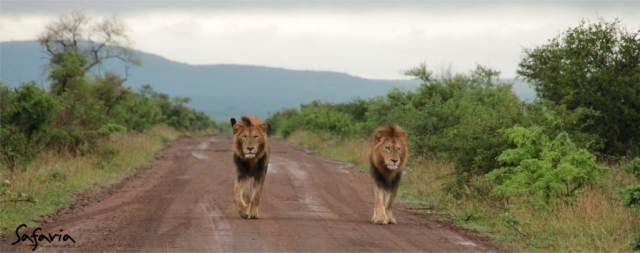 Male Lions walking on gravel road in the Kruger Park
