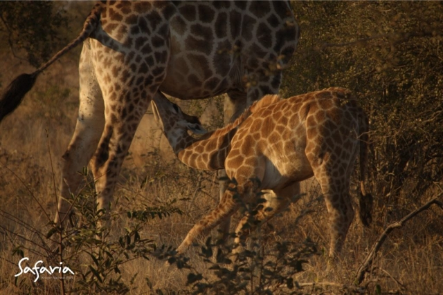 Giraffe with calf drinking taken by Safaria in the Kruger Park