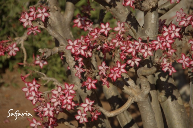 Up close image of an impala lily taken by Safaria