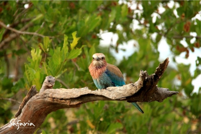 Safaria Roller in the Kruger National Park