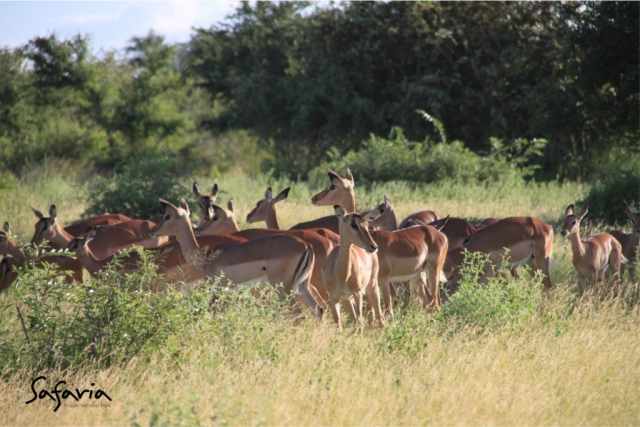 Impala herd captured in the sunny Kruger National Park