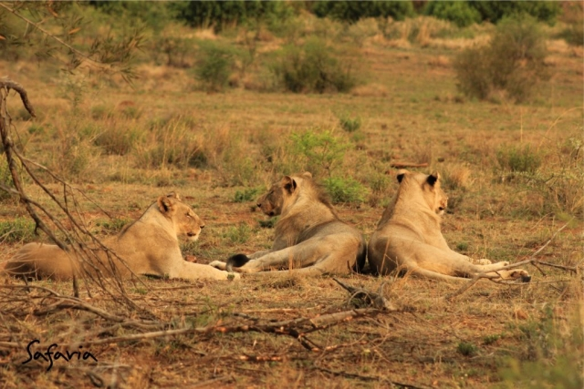 Lions resting in the Kruger National Park Landscape
