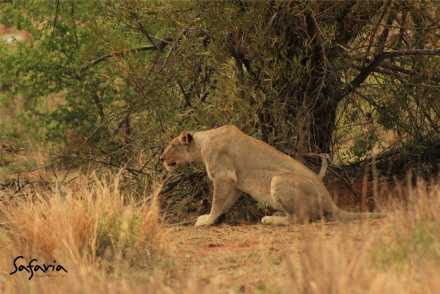 Lioness stalking captured by Safaria Private Guide