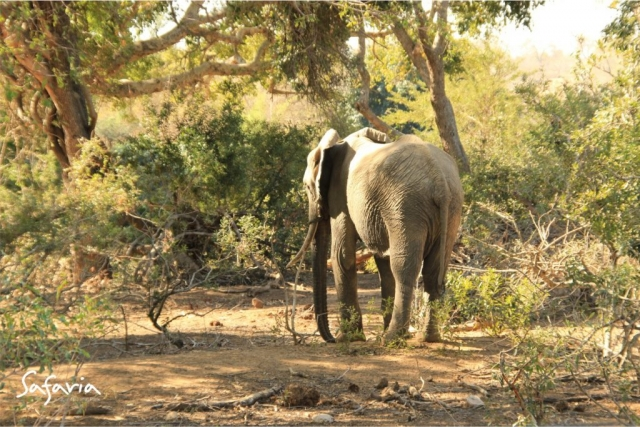 Elephant standing in Kruger National Park landscape