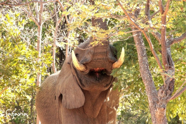 Up close image of an Elephant eating taking by Safaria