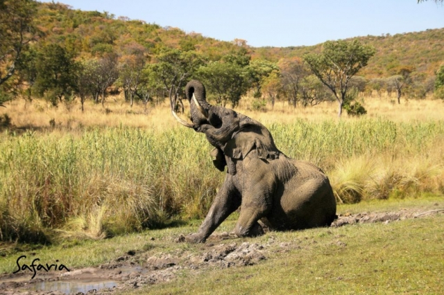 Elephant mud bath in the Kruger National Park