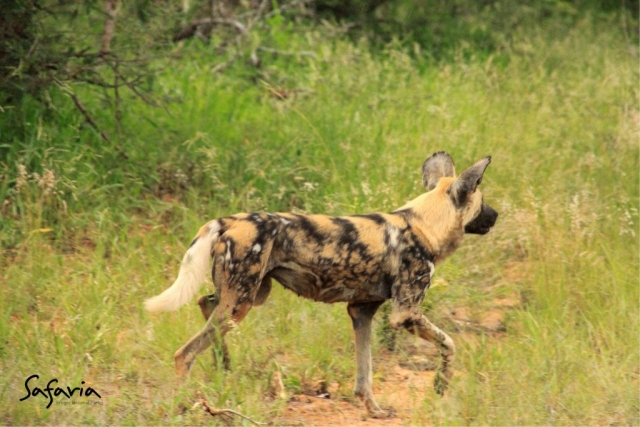 Wild dog running in the Kruger National Park
