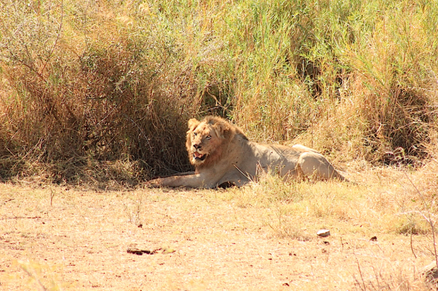 Male Lion after kill