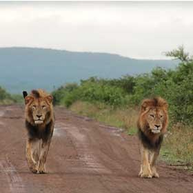 Overnight Kruger Park Safaris Lion