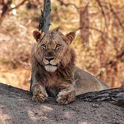 Ovetnight Kruger Park Safaris Lion