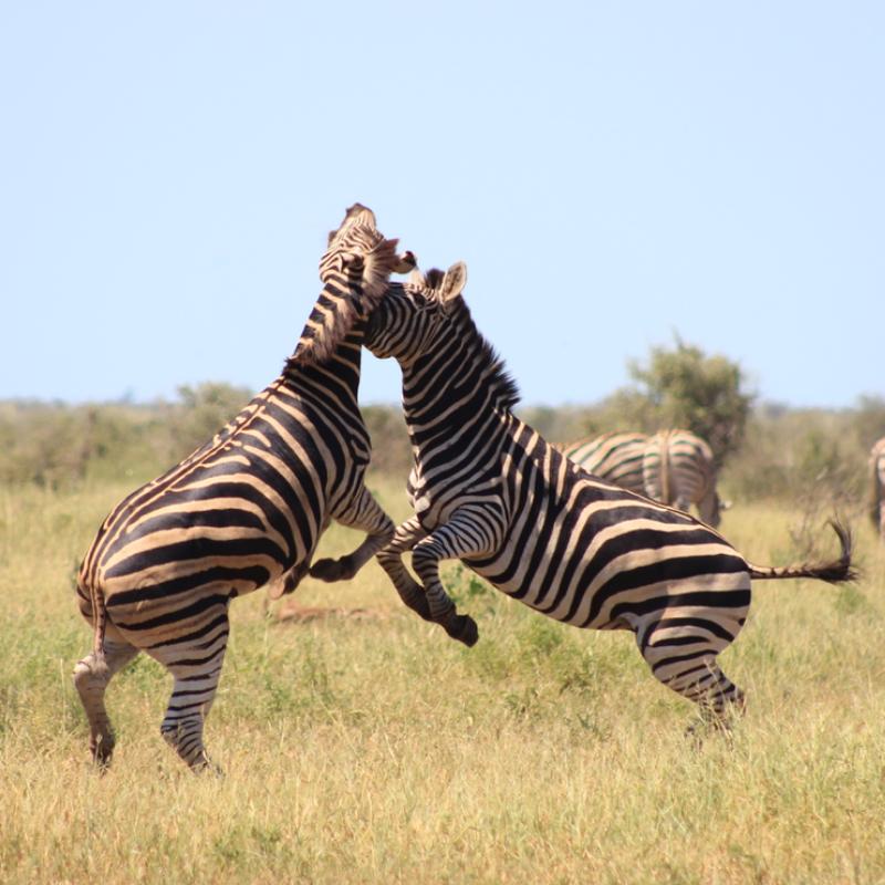 Fighting zebra kruger park
