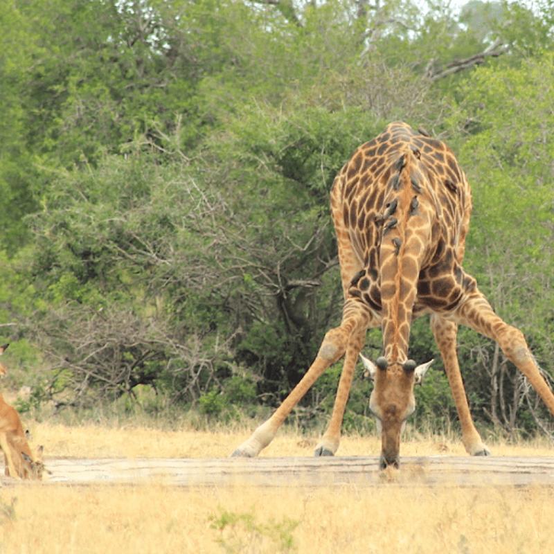 Giraffe drinking kruger park