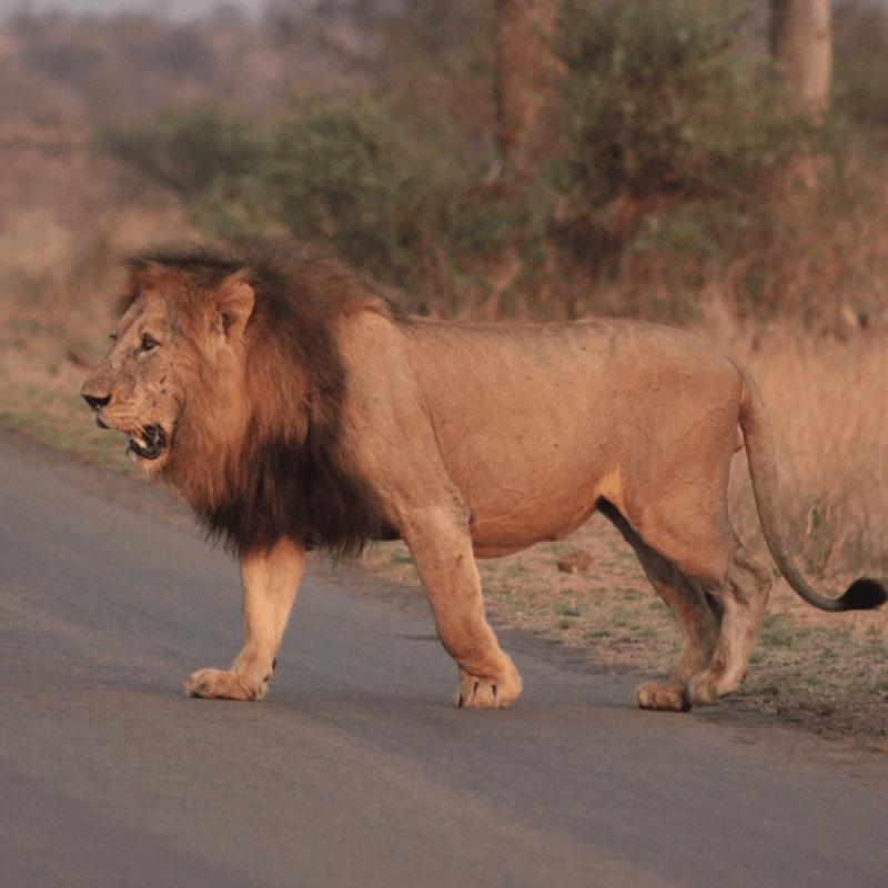 Male lion kruger park