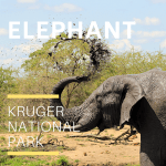 Elephant_Kruger national Park