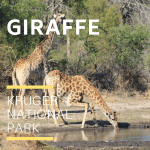 Giraffe_Kruger National Park