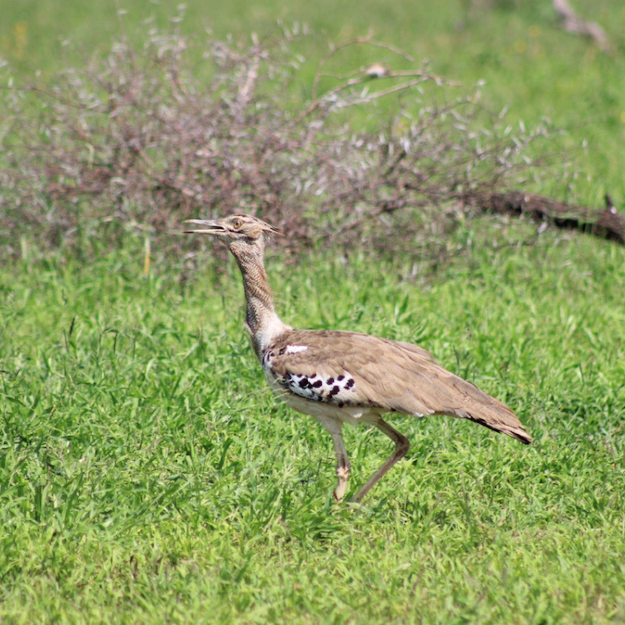 Birding Safari Bustard