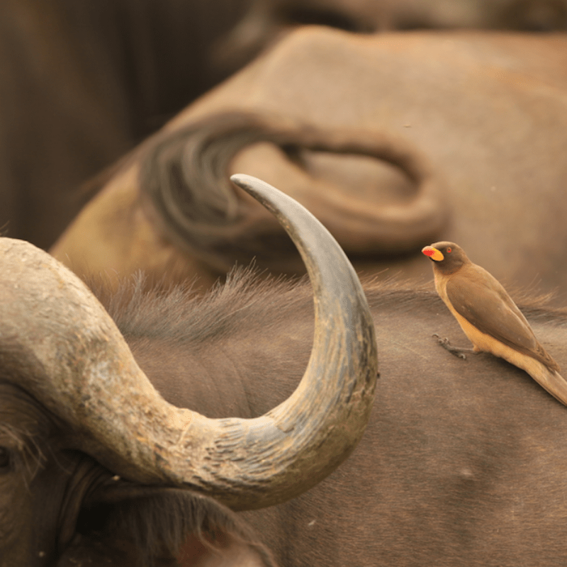 Buffalo and the oxpecker