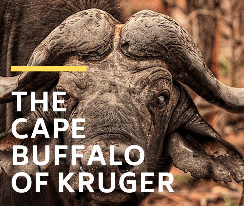 Cape Buffalo of Kruger National Park