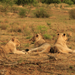 Lion Subadults in Kruger