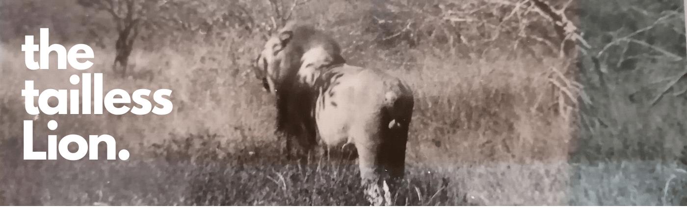 Tailless Lion of KRUGER NATIONAL PARK