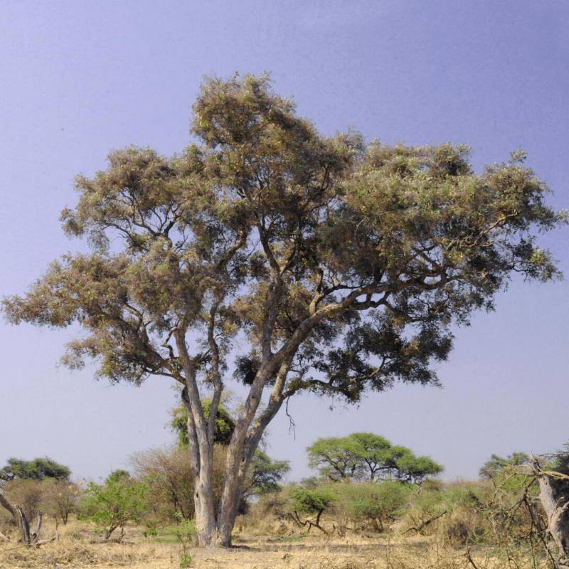 Apple Leaf Tree Kruger Park