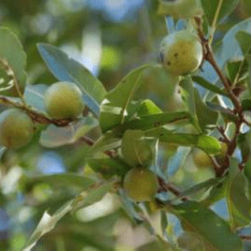 Jackalberry Fruit and Leaves