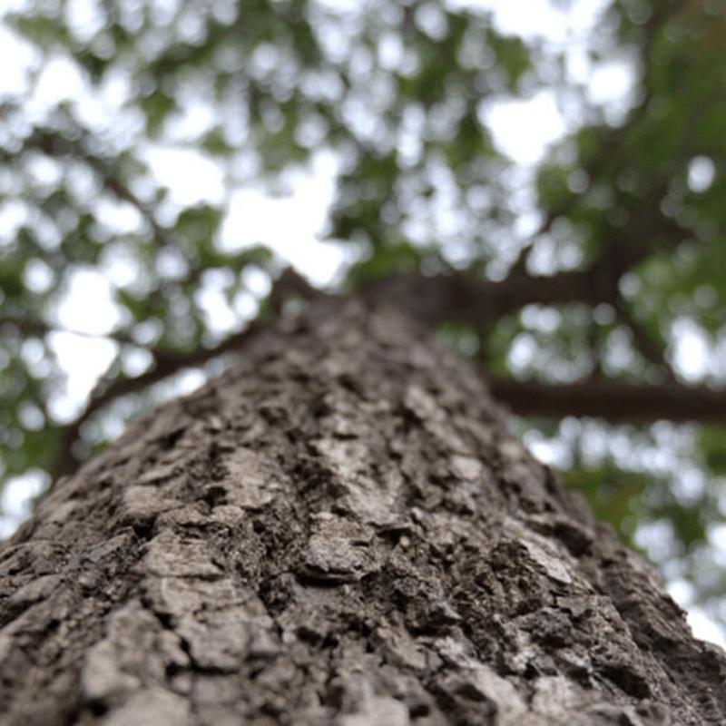 Jackalberry Tree Bark