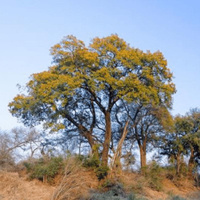 Jackalberry Tree Kruger National Park