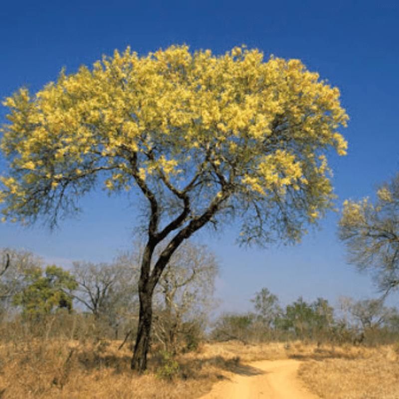Knob Thorn Acacia Kruger Park