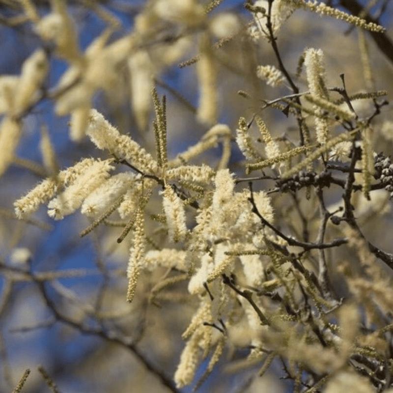 Knob Thorn Acacia flowers