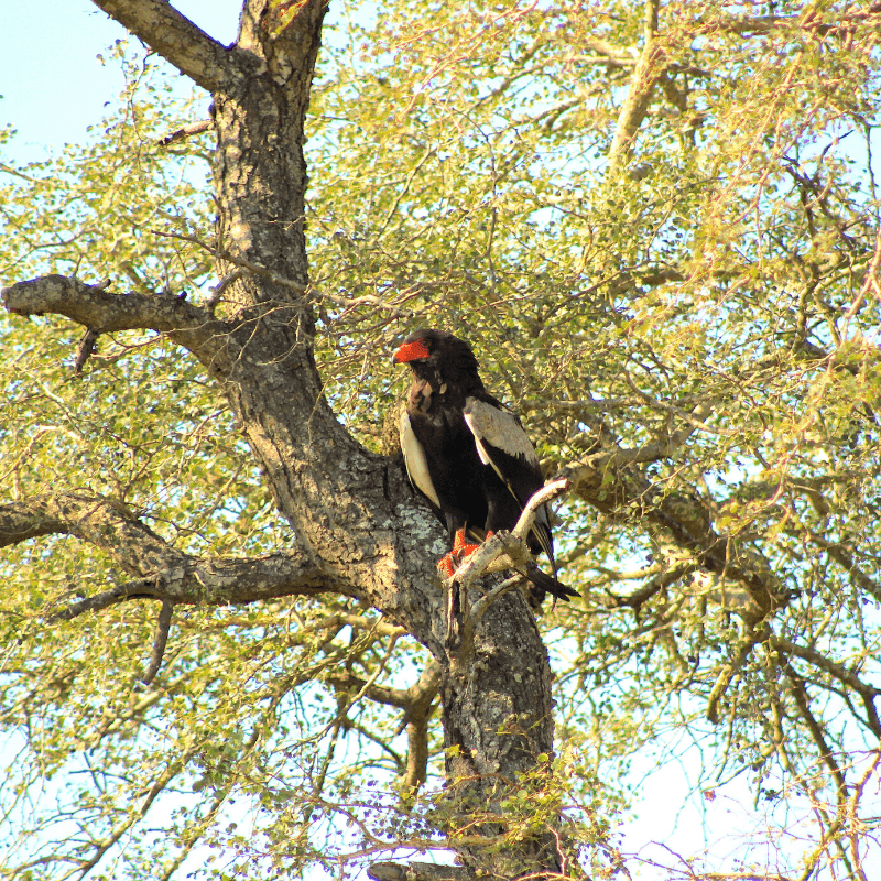 Knob Thorn with Bateleur