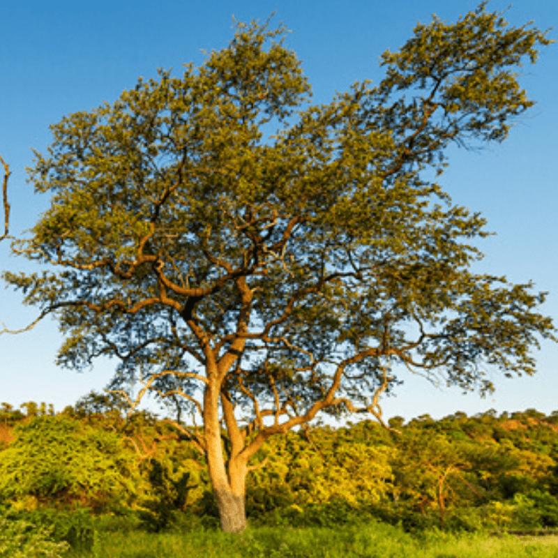 Leadwood Tree Kruger Park