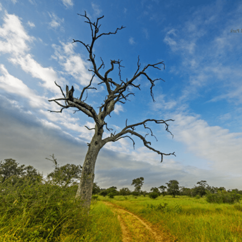Leadwood Tree Kruger Park without leaves