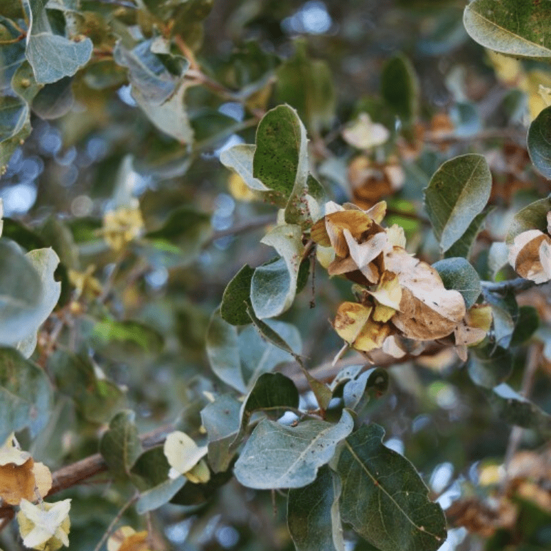 Leadwood Tree leaves and pods Kruger Park