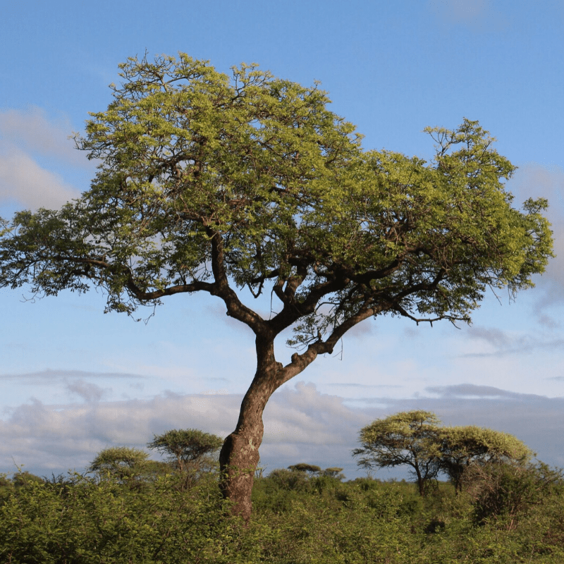 Marula Tree Kruger Park