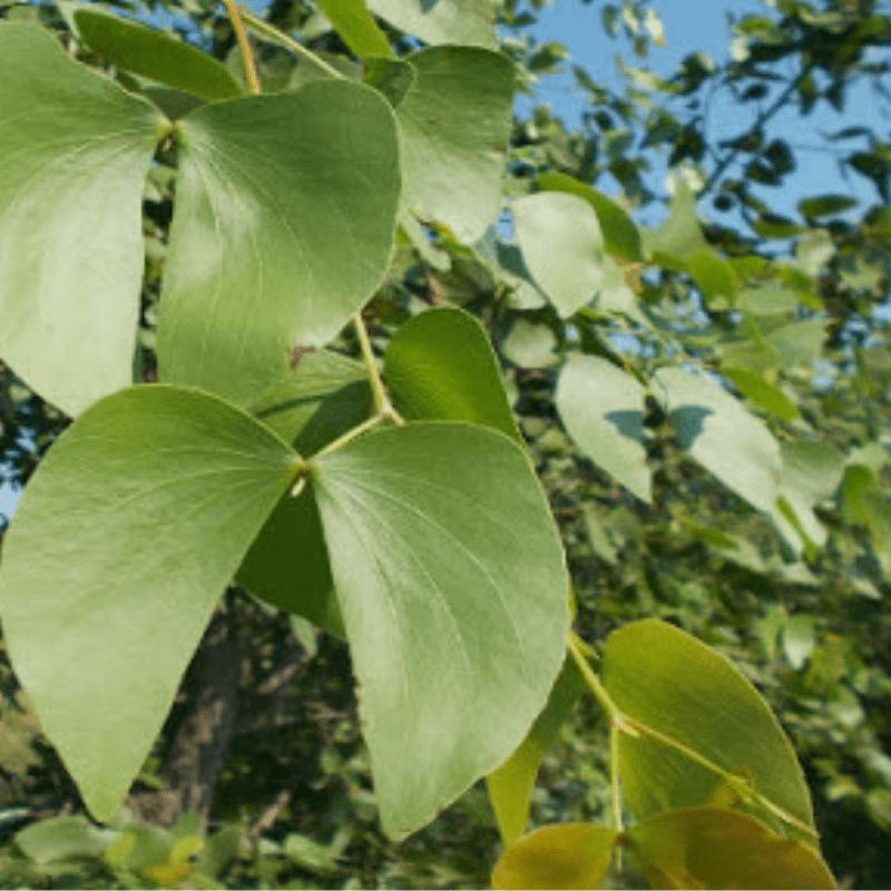 Mopane Tree Leaf kruger Park